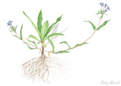 Gentiana soponaria (enzian / gentian) fresh 2012