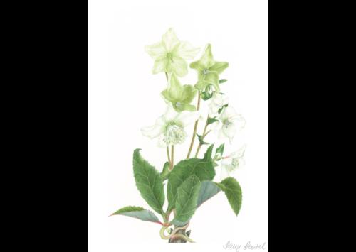 Kew – Helleborus (Christmas rose) 2014