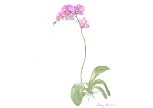 Phalaenopsis (moth orchid) 2015