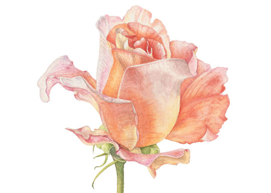 Rosa x hybrida 'Cloud Sixty' 2020